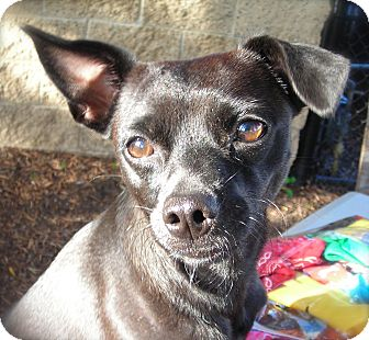 Chihuahua Mix Dog for adoption in El Cajon, California - Marge