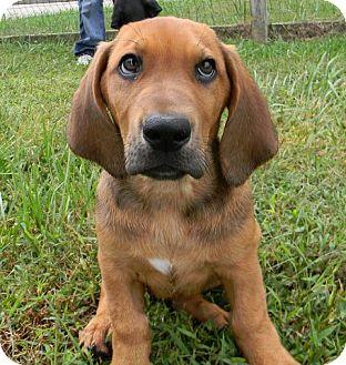 Basset Hound/Labrador Retriever Mix Puppy for adoption in Cincinnati, Ohio - Trey