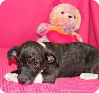 Chihuahua/Hound (Unknown Type) Mix Puppy for adoption in Salem, New Hampshire - Edna