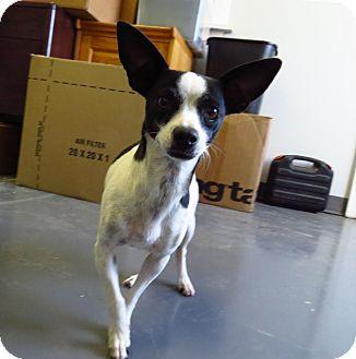 Chihuahua Mix Dog for adoption in Meridian, Idaho - Tiffany