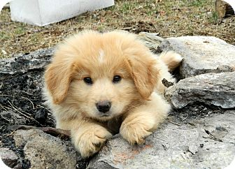 Golden Retriever/Chow Chow Mix Puppy for adoption in Salem, New Hampshire - PUPPY SUGAR BEAR