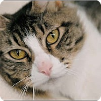 Domestic Mediumhair Cat for adoption in Garland, Texas - Jazzy