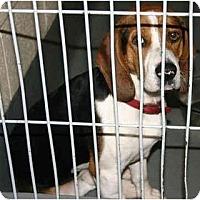 Adopt A Pet :: Albus - Portland, OR