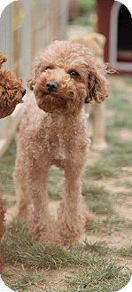 Poodle (Miniature) Mix Dog for adoption in Essex Junction, Vermont - Coco
