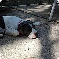 Adopt A Pet :: Romeo, loves to cuddle - Sacramento, CA