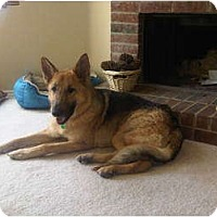 Adopt A Pet :: Ziva - Arlington, TX