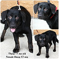 Adopt A Pet :: Theia - Evansville, IN