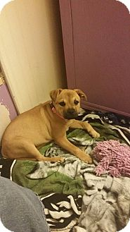 Pug Mix Puppy for adoption in Evensville, Tennessee - Molly