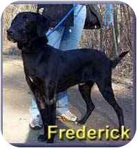 Labrador Retriever/Greyhound Mix Dog for adoption in Aldie, Virginia - Frederick