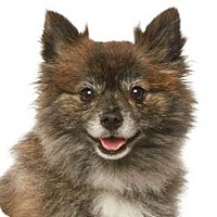 Adopt A Pet :: Shirley - Burbank, CA