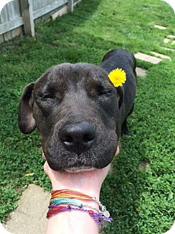 Labrador Retriever/Pit Bull Terrier Mix Dog for adoption in Franklin, Indiana - Pebbles