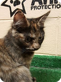 Domestic Mediumhair Kitten for adoption in Smithfield, North Carolina - Maggie