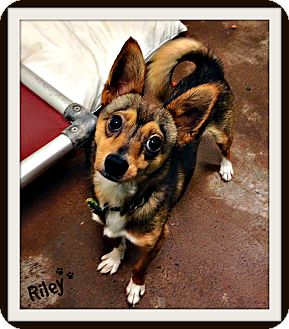 Chihuahua/Pomeranian Mix Dog for adoption in Dunkirk, New York - Riley
