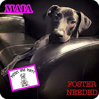 Pit Bull Terrier/Labrador Retriever Mix Dog for adoption in Baltimore, Maryland - Maia