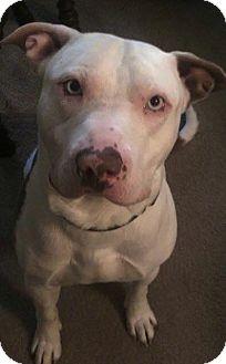 Pit Bull Terrier Dog for adoption in St. Paul, Minnesota - Toby
