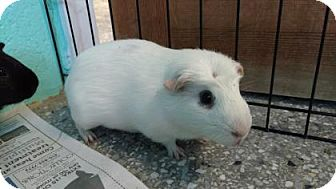 Guinea Pig for adoption in Reisterstown, Maryland - Gettysburg