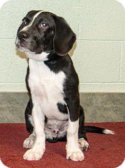 Beagle Mix Dog for adoption in Ada, Oklahoma - BOOMER
