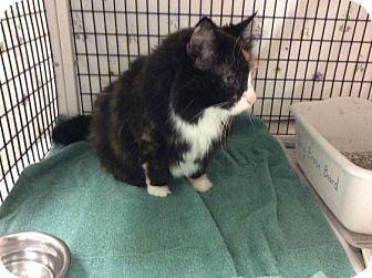 Domestic Longhair Cat for adoption in Janesville, Wisconsin - Greta