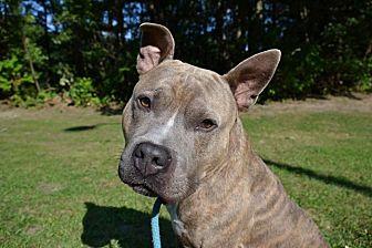 Terrier (Unknown Type, Medium) Mix Dog for adoption in Brookhaven, New York - Nitro