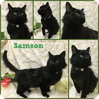 Domestic Mediumhair Cat for adoption in Joliet, Illinois - Samson