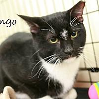 Domestic Shorthair Cat for adoption in Nottingham, Maryland - Tango & Cash