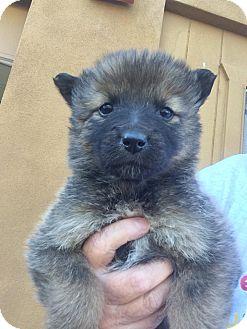 Australian Shepherd/Australian Cattle Dog Mix Puppy for adoption in Cave Creek, Arizona - Jersey