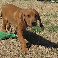 Beagle/Mastiff Mix Puppy for adoption in Norman, Oklahoma - Shaft