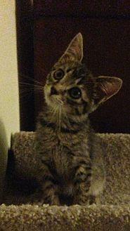 Russian Blue Kitten for adoption in Sarasota, Florida - Xavier