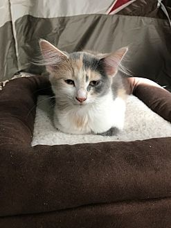 Maine Coon Kitten for adoption in Blairstown, New Jersey - DE - Natasha