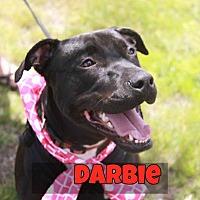 Adopt A Pet :: Darbie - SOUTHINGTON, CT