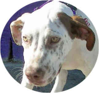 Dalmatian/Pointer Mix Puppy for adoption in Mandeville Canyon, California - Rusty
