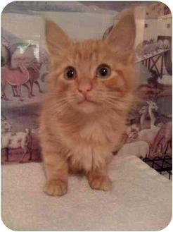 Domestic Mediumhair Kitten for adoption in Turlock, California - Frosty