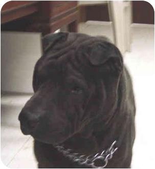 Shar Pei Dog for adoption in Houston, Texas - Elle