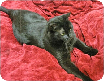 Domestic Shorthair Cat for adoption in Mt. Prospect, Illinois - Mystery