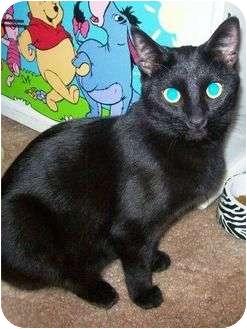 Domestic Shorthair Cat for adoption in Las Vegas, Nevada - Tito
