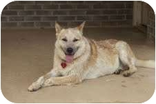 German Shepherd Dog/Australian Cattle Dog Mix Dog for adoption in Portland, Maine - Buppy