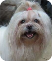 Havanese/Pekingese Mix Dog for adoption in East Hartford, Connecticut - Satin Doll