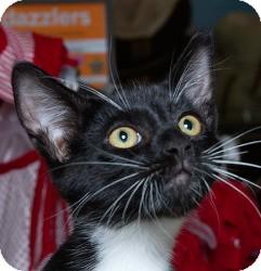 Domestic Shorthair Kitten for adoption in Sacramento, California - Buster