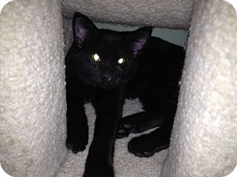Domestic Mediumhair Kitten for adoption in East Hanover, New Jersey - Cinnabar