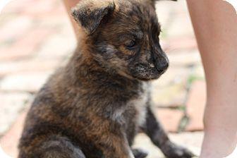 German Shepherd Dog Mix Puppy for adoption in Davie, Florida - Carly