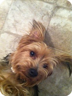 Yorkie, Yorkshire Terrier Dog for adoption in Goodyear, Arizona - Leo