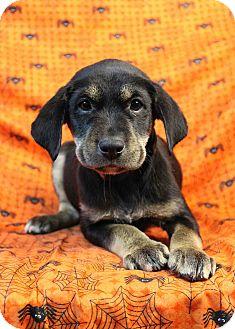 Labrador Retriever Mix Puppy for adoption in Westminster, Colorado - Psyched