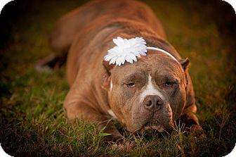 American Pit Bull Terrier Dog for adoption in Newark, Delaware - Mama Bear