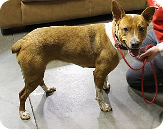 Basenji Mix Dog for adoption in Meridian, Idaho - Ginger