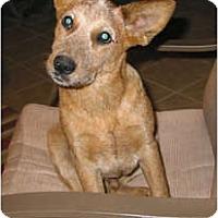 Adopt A Pet :: Chico (Adoption Pending) - Phoenix, AZ