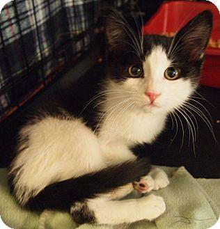 Domestic Shorthair Kitten for adoption in Buhl, Idaho - Leslie