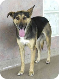 Australian Cattle Dog/Doberman Pinscher Mix Dog for adoption in Marina del Rey, California - Fiona