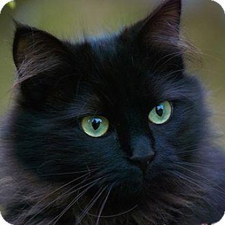 Domestic Longhair Cat for adoption in Gilbert, Arizona - Fancy Pants