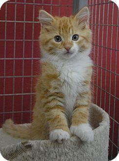Polydactyl/Hemingway Kitten for adoption in Winchendon, Massachusetts - Hunter