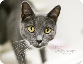 Domestic Shorthair Cat for adoption in Reisterstown, Maryland - Lovebug